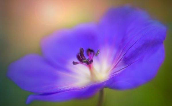 dreamy, tulip